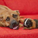 Dog and guinea pig