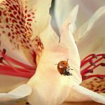 Rhododendron and ladybird