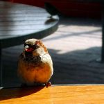 Sparrow in cafe