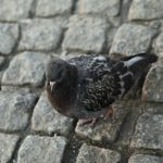 Bird on cobbles
